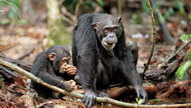 'Chimpancés' es el nuevo filme documental de Disney.